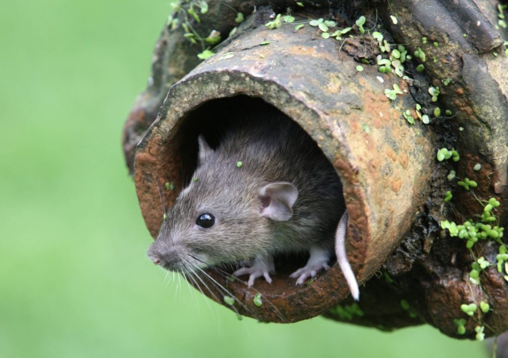 Rodents and mice in your gutters